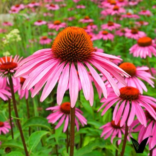 About Echinacea
