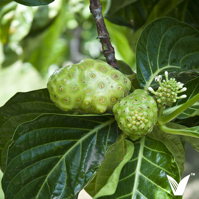 What The Science Says About Noni Fruit